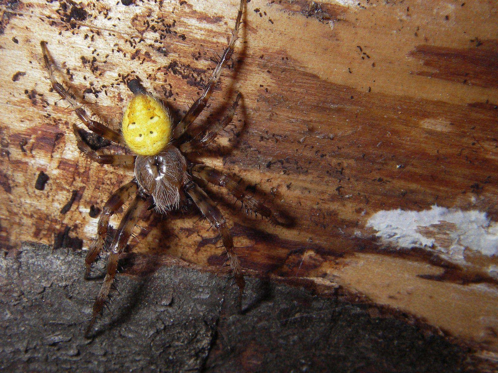 К чему беременным снятся пауки 44